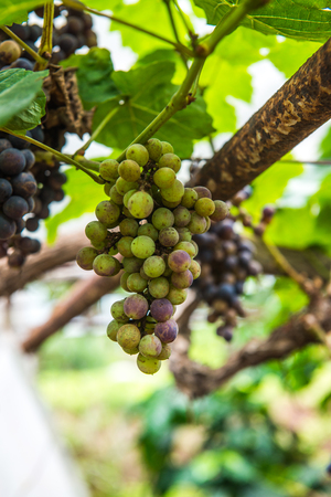 Wine grapes in Thai, Thailand.