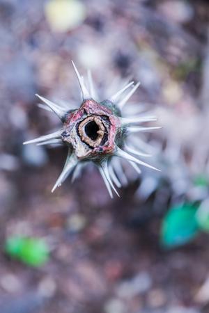 Thorn of Euphorbia Milii, Thailand.