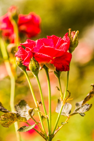 celebration: Red rose with natural background, Thailand.