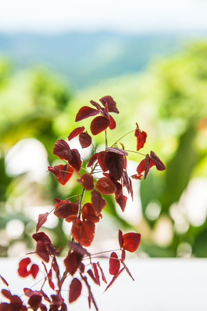 simple life: Red leaves with green background, Thailand.