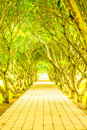 Plumeria trees tunnel at Nan province, Thailand. Stock Photo