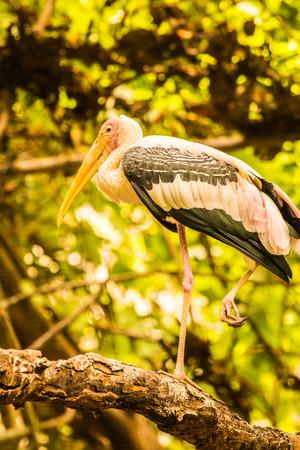 Painted stork bird in Thai, Thailand.