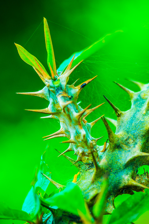 Euphorbia Milii with green background, Thailand. Stock Photo