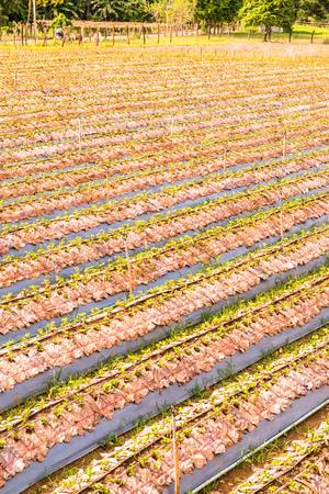 Strawberry farm in Chiangmai city, Thailand. Stock Photo
