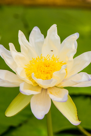 White lotus with green background, Thailand.