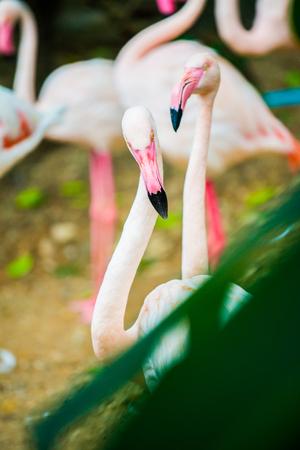 Greater Flamingo bird, Thailand. Фото со стока
