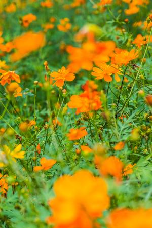 Yellow cosmos flower in the garden, Thailand.