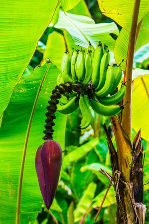 Pisang Ambon Banana on Tree, Thailand.