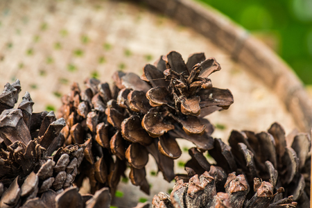 Pine cones for herb, Thailand. Stock Photo