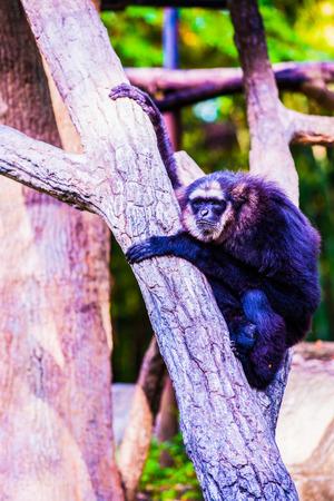Agile Gibbon or Dark Handed Gibbon in Thai, Thailand.