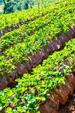 Champ de plantation de fraises à Doi Ang Khang, en Thaïlande. Banque d'images