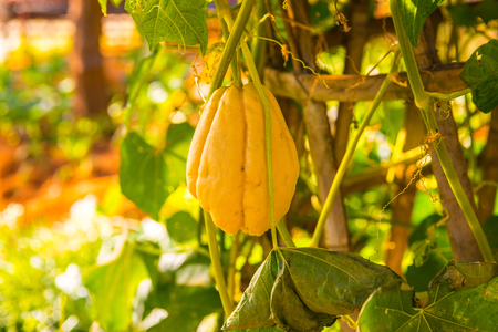 Chayote fruit in the garden, Thailand. Stock Photo