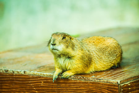 Portrait of Prairie Dog, Thailand.