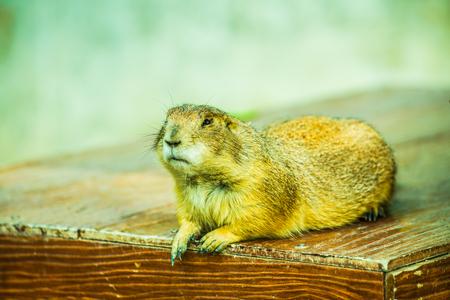 Portrait of Prairie Dog, Thailand.