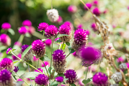 Globe Amaranth flower in garden, Thailand.