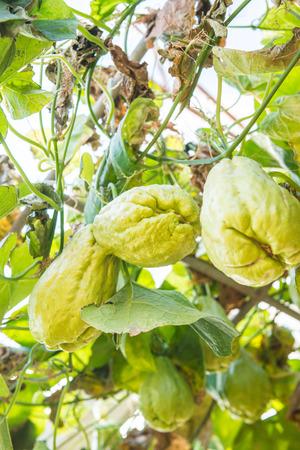 Fruta de Chayote en el jardín, Tailandia. Foto de archivo - 94196771
