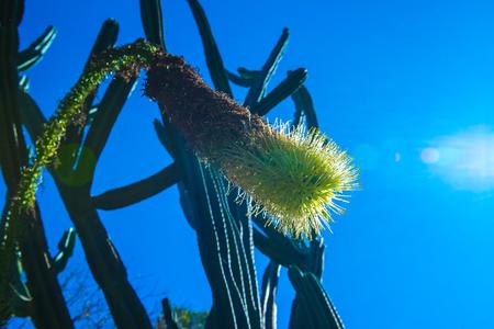 Cactus flower with blue sky, Thailand.