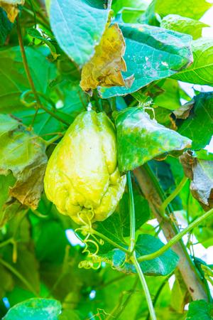 Chayote fruit in the garden, Thailand. Foto de archivo - 93887827