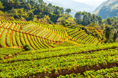 Strawberry plantation field at Doi Ang Khang, Thailand.
