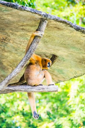 White Cheeked Gibbon in Thai, Thailand.