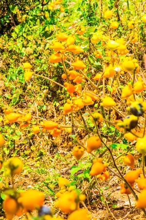 Nipple fruit on plant, Thailand.