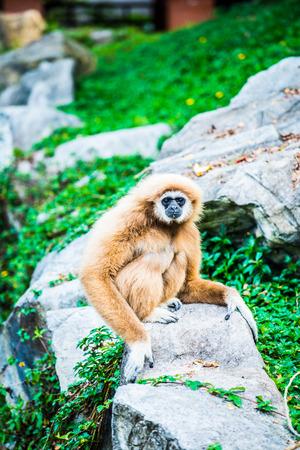 White Handed Gibbon in Thai, Thailand.