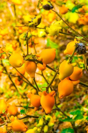 공장, 태국 젖꼭지 과일입니다.