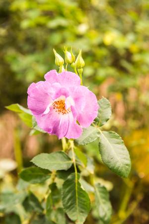 Violet rose in the garden, Thailand.