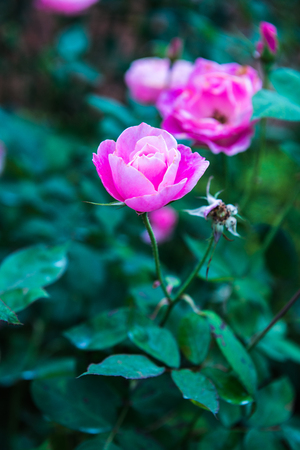 Pink rose in the garden, Thailand. Banque d'images