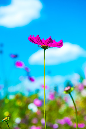 Cosmos flower with blue sky background, Thailand. Stock fotó