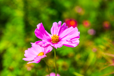 Pink cosmos with natural background, Thailand.