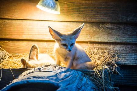 Fennec Fox in Thai, Thailand. Reklamní fotografie - 96080751