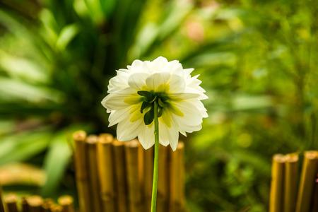 White Dhalia flower in the park, Thailand.