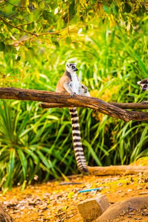 Ring tailed lemur in Thai, Thailand. Фото со стока