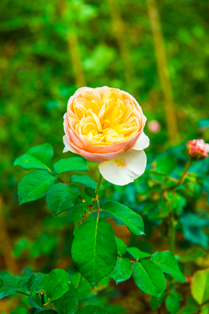 Orange rose in the garden, Thailand.