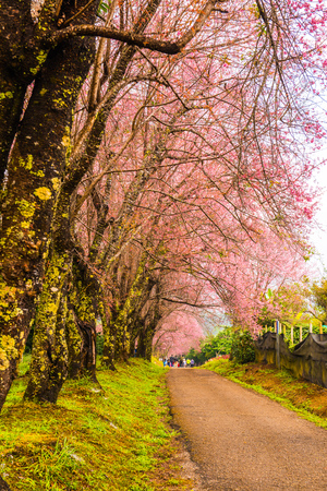 Wild Himalayan Cherry flowers with small road at Khun Wang royal project, Thailand. Editorial
