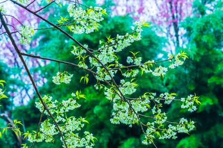 Wild Himalayan Cherry flowers at Khun Wang royal project, Thailand.