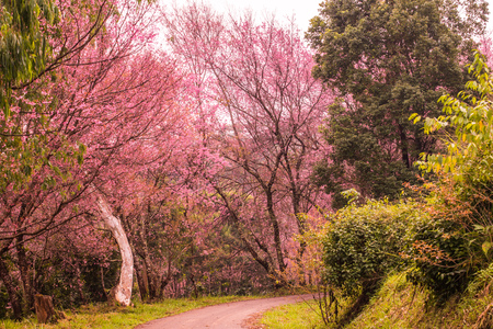 Wild Himalayan Cherry flowers with small road at Khun Wang royal project, Thailand. Stock Photo