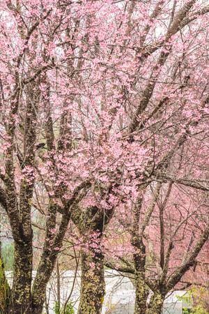 Wild Himalayan Cherry in Khun Wang royal project, Thailand.