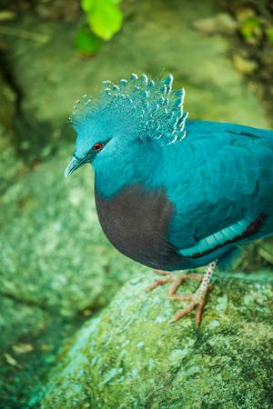 Victoria Crowned Pigeon bird in Thai, Thailand. Stockfoto