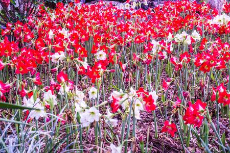Amaryllis flowers in park, Thailand.