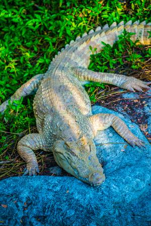 Albino Siamese Crocodile or Thai Crocodile, Thailand.