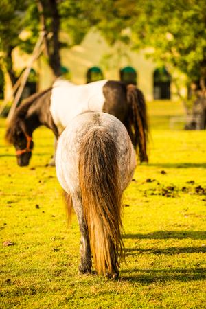 Back of dwarf horse on green  grass, Thailand.