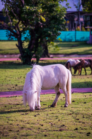 Dwarf horse on green  grass, Thailand. Stock Photo
