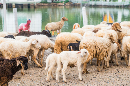 Group of sheeps, Thailand.