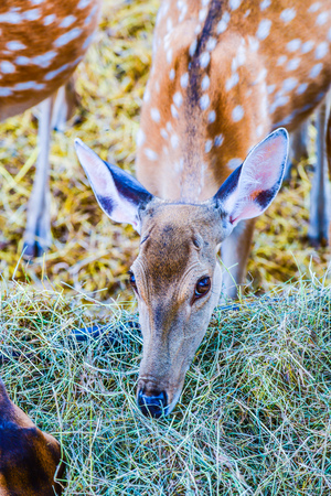Face of spotted deer, Thailand. Stock Photo