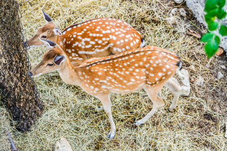 Portrait of spotted deer, Thailand.