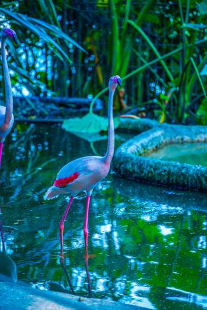 Greater flamingo in Thai, Thailand. Фото со стока