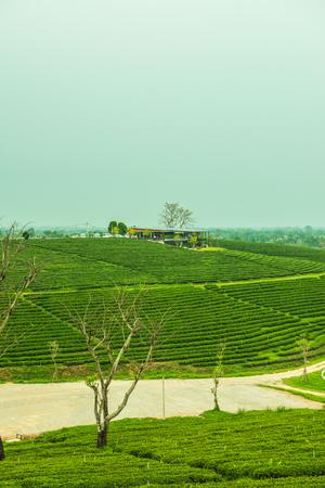Tea plantation in Thai, Thailand. Stock Photo