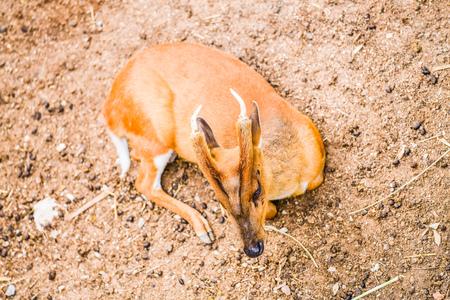 Deer on ground, Thailand.